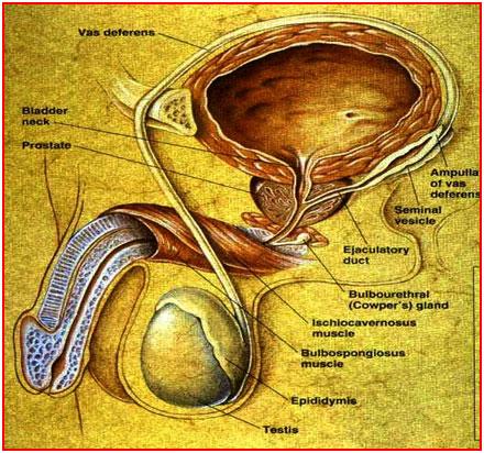 Male reproductive parts