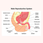 Male Reproductive System – Know the basics