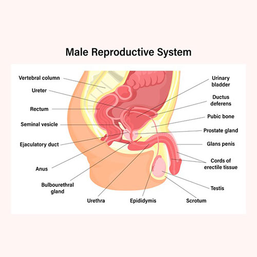 male-reproductive-system-basics-how-sperm-produced