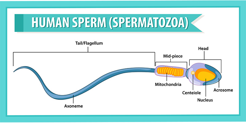 Semen Analysis – What you should know